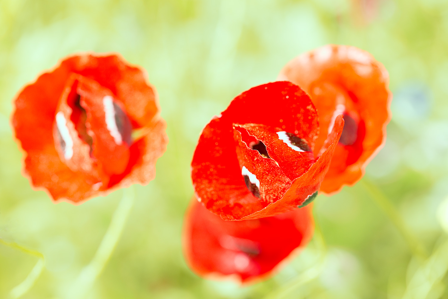 Four Bossed Poppies