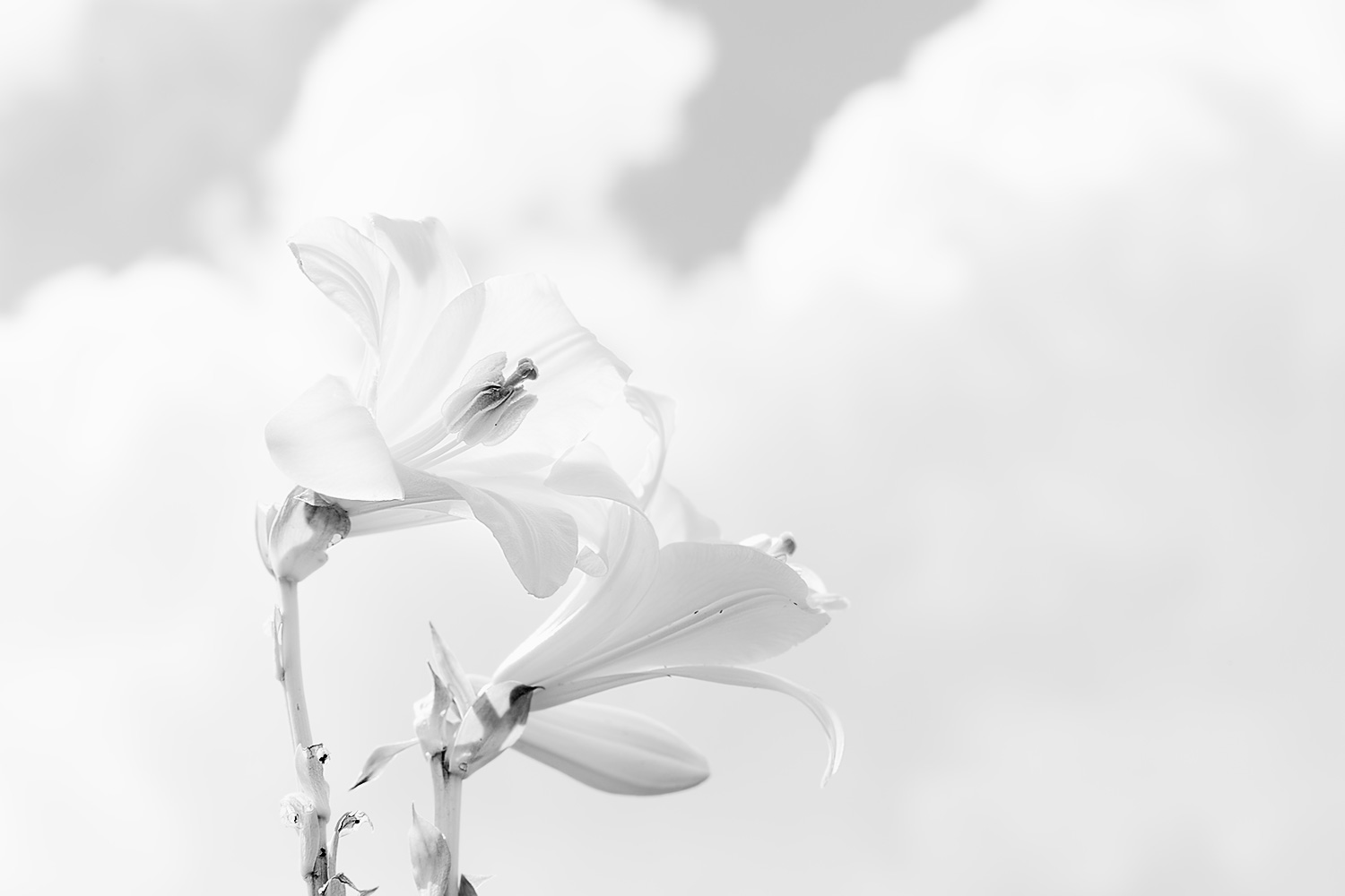 Madonna Lilies with Clouds