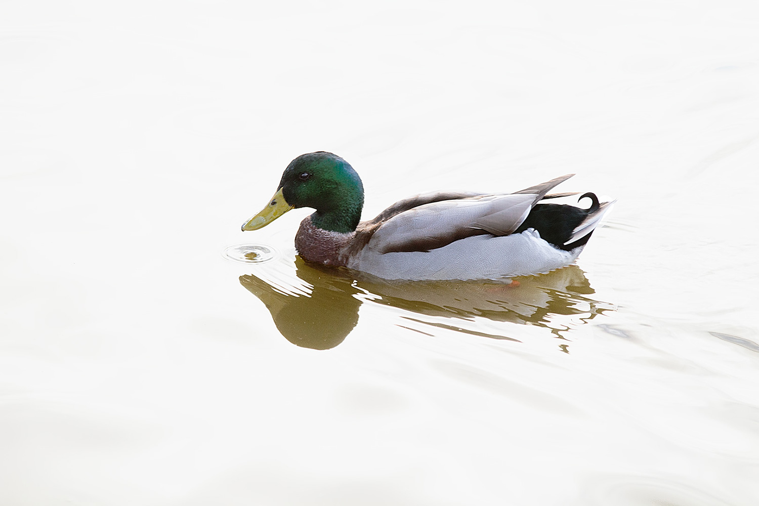 A male mallard in clouds reflection