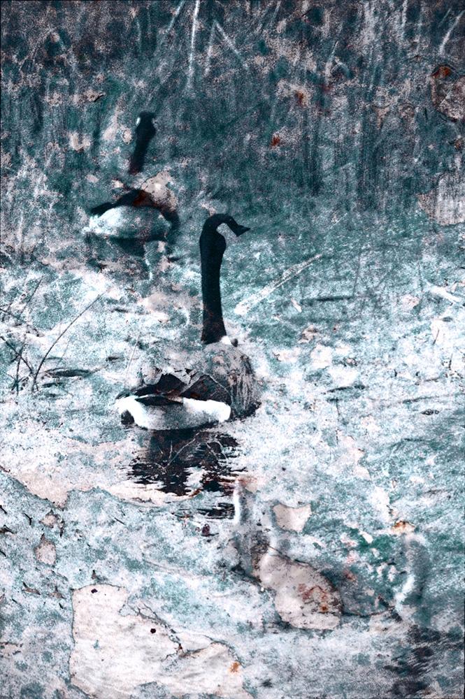 Branta Geese with Gooselings
