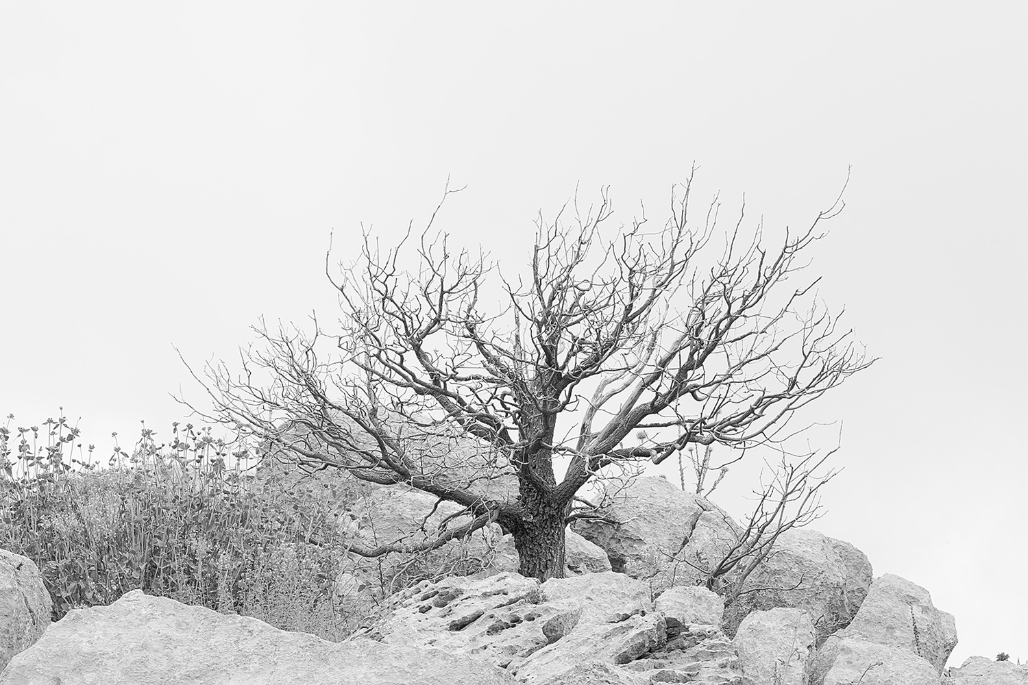 A Dead Oak Tree, Mt. Hermon