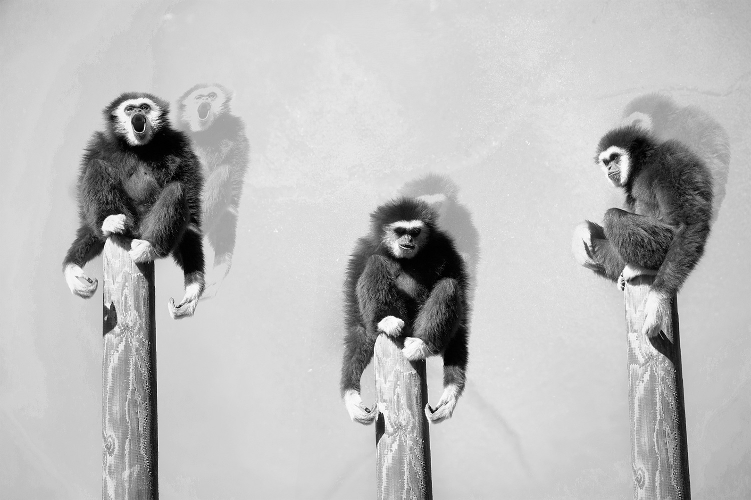 Three Gibbons on a Pole