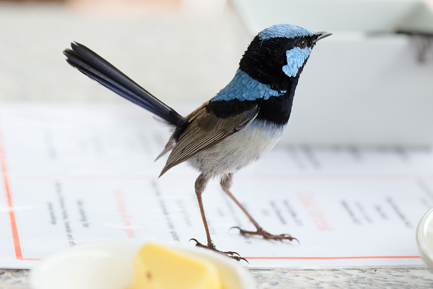 A Coffee with a Superb Fairy Wren, Austra